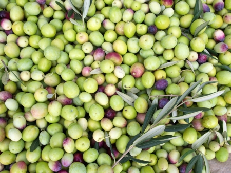Green olives ready for processing close up Stock Photo