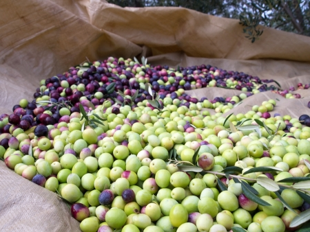 Beautiful freshly picked olives ready for processing