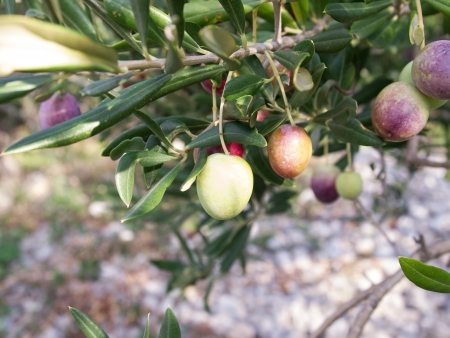 Olives on tree ready to harvesting