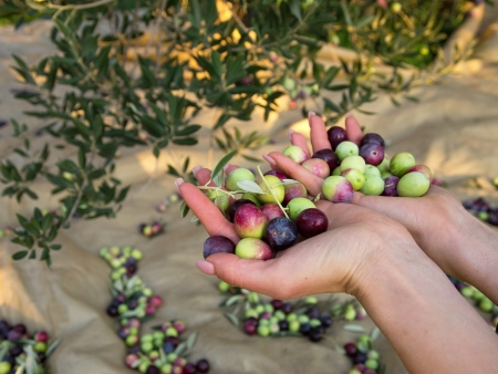 Fresh olives in woman hand on plantation Stock Photo
