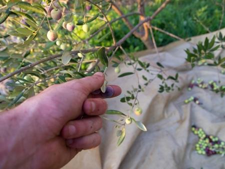 Man harvesting colorful olives