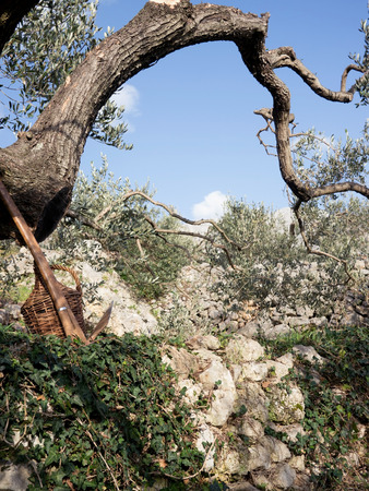 Olive tree scene with old shovel tool and small wine barrel