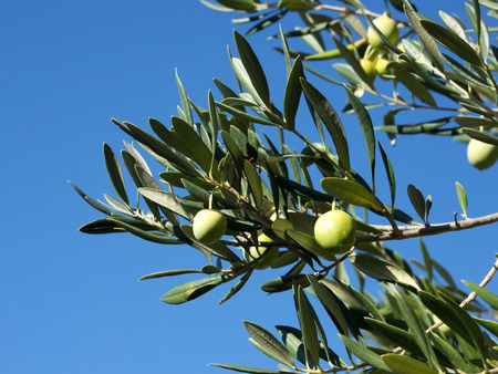 Olive tree branch with olive fruits with blue sky background