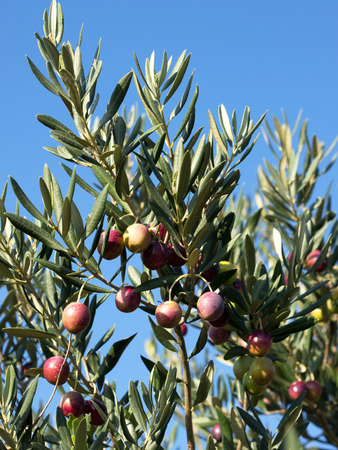 Many colorful olive on tree with blue sky background Stock Photo