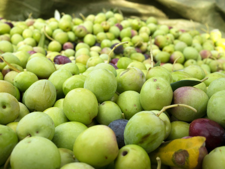 Many just picked green olives on ground