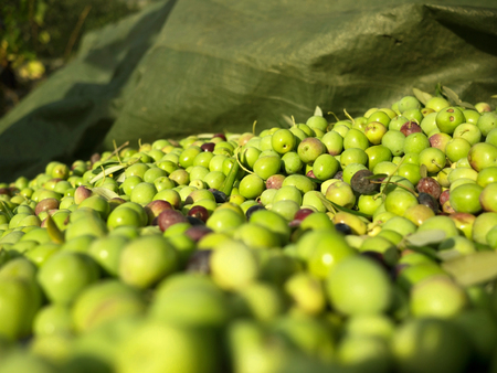 Picked olives on ground close up
