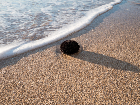 Black sea urchin on sandy beach Stock Photo