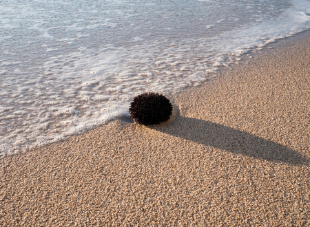 Black sea urchin on sand beach Stock Photo