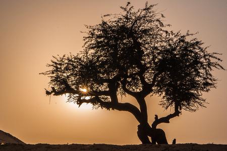 olive green: Olive tree in Sahara desert, Egypt Stock Photo
