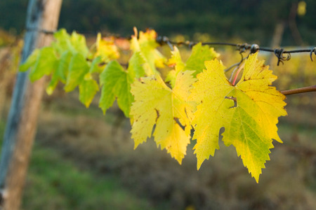 Grapes leaves in autumn, Tuscany