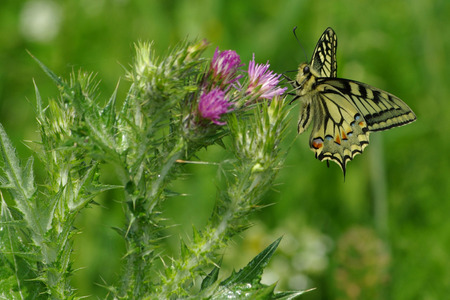 macaone: Machaon butterfly on purple flower, Tuscany Stock Photo