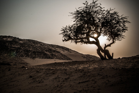 Olijfboom op Sahara woestijn, Egypte Stockfoto