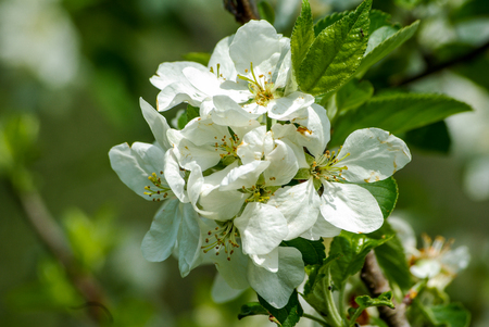 cheery: White cheery blossoms in late spring in Tuscany Stock Photo
