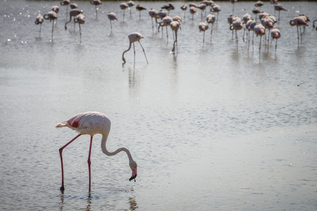big bird: Pink big bird Greater Flamingo (Phoenicopterus ruber) in the water, Camargue, France