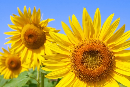 Bee on a beautiful sunflower photo