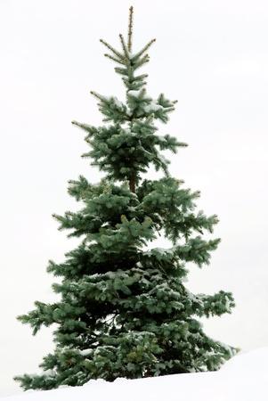 sapins: Fourrure-arbre de No�l de fond � nouveau blanc