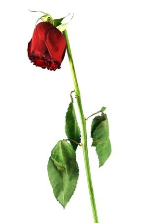 dia de muerto: Rosa viejo aislado en blanco