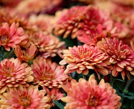 Beautiful chrysanthemum flowers background Stock Photo - 10464859