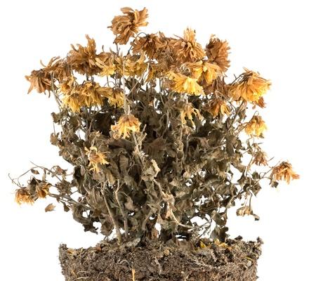 dode bladeren: Droge bloemen in de grond op wit wordt geïsoleerd Stockfoto