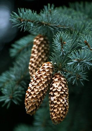 again: Close-up of fir-tree branches with cones again green background Stock Photo