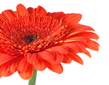 Red gerbera isolated on white  Stock Photo - 10464816