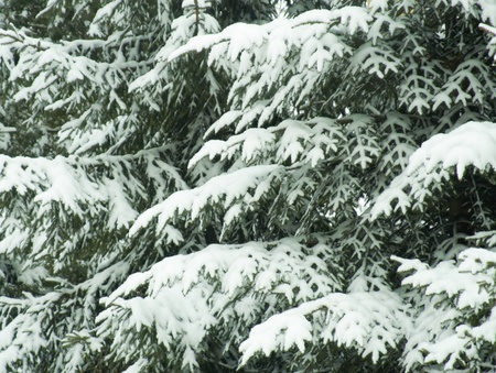 Snow covered fir-tree branches photo