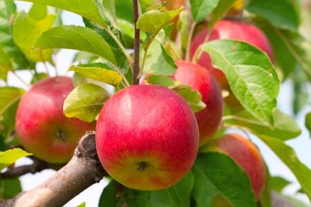 Manzanas rojas en rama de árbol de manzana