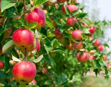Rote Äpfel auf Apfel Ast