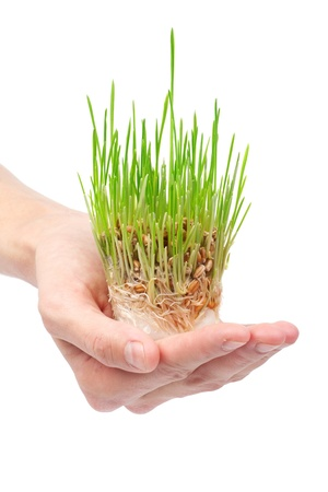 Fresh green grass in the hand on white background photo