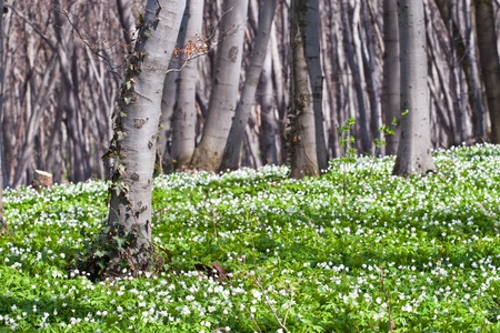 Beautiful spring forest with anemone flowers photo
