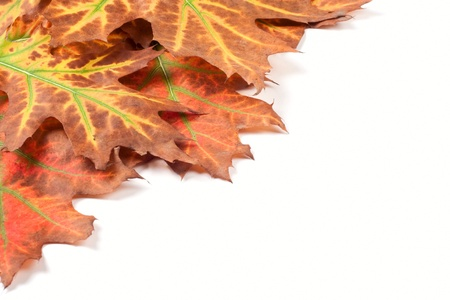 Yellow autumn leaves isolated on white background photo