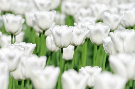 White blooming tulips photo