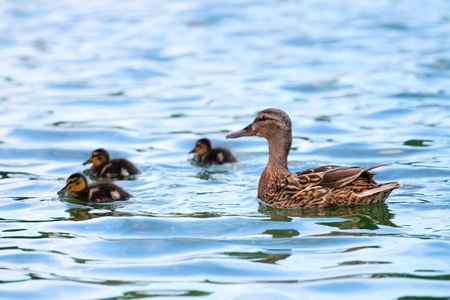 Duck and baby ducklings in the water photo