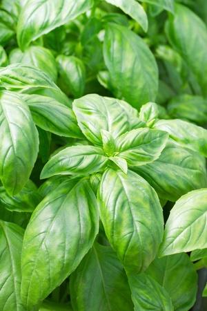 Fresh green basil leaves closeup photo
