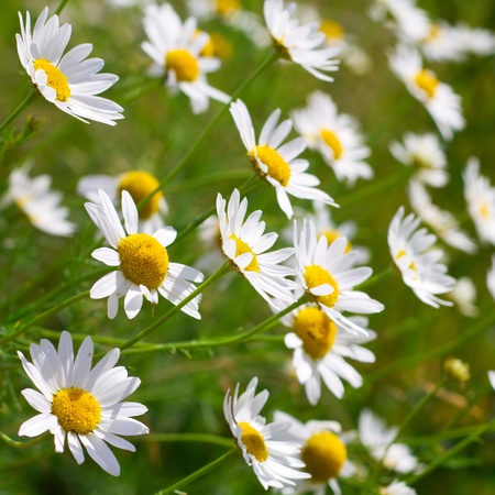 Beautiful sunny chamomile flowers close-up photo