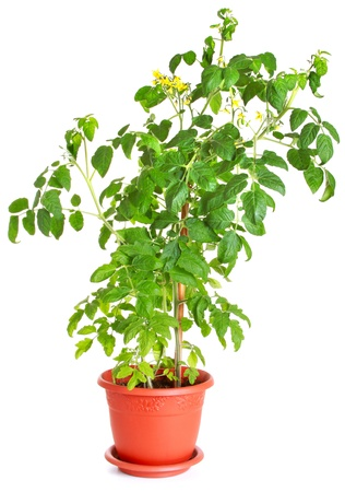 Tomato bush growing in a flower pot isolated on white Фото со стока - 11405688