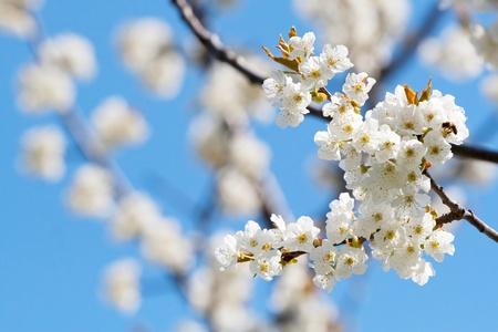 Spring blooming sakura cherry flowers branch photo