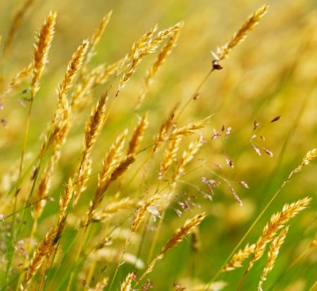 Wild yellow meadow wheat grass photo