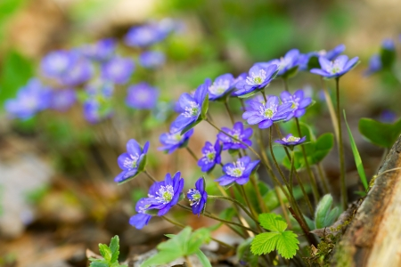 Blue flowers of Hepatica Nobilis close-up (Common Hepatica, liverwort, kidneywort, pennywort, Anemone hepatica) photo