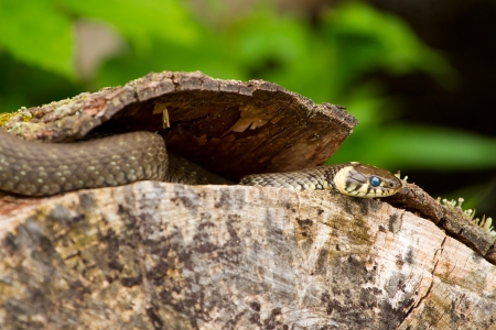 Wild european adder and its forked tongue on the wood photo