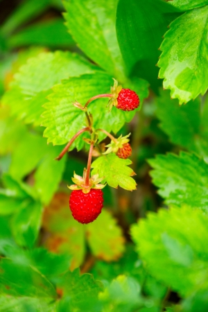 Closeup of a ripe wild strawberry berries growing on a meadow photo