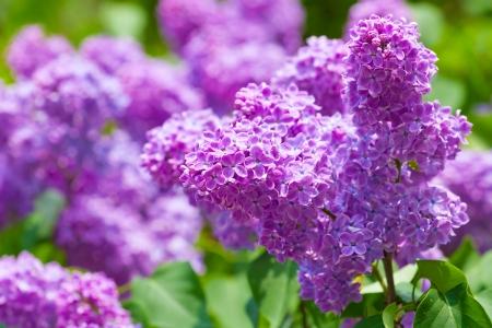Rama verde con flores de primavera lila