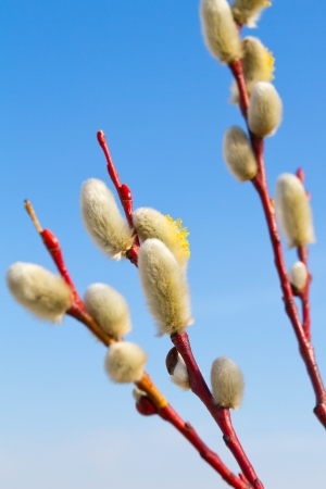 pussy yellow: Yellow blooming pussy willow branches Stock Photo