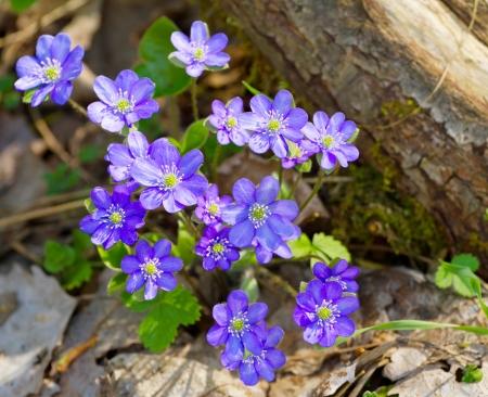 liverwort: Blue flowers of Hepatica Nobilis close-up (Common Hepatica, liverwort, kidneywort, pennywort, Anemone hepatica)