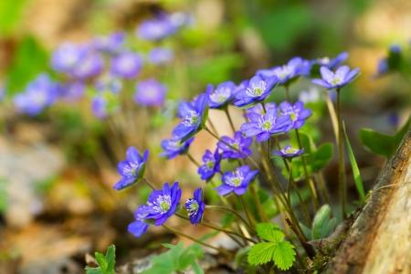 Blue flowers of Hepatica Nobilis close-up (Common Hepatica, liverwort, kidneywort, pennywort, Anemone hepatica) photo