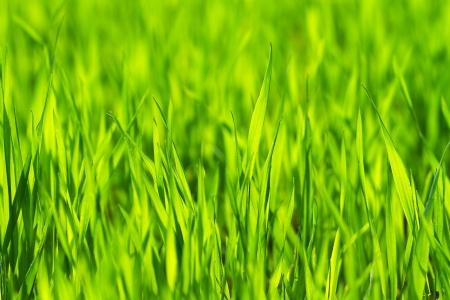 Bright vibrant green grass close-up photo