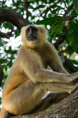 faced: Blace faced monkey, grey langur sitting on a tree in Rishikesh, India