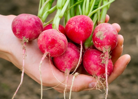 Fresh organic radish in woman