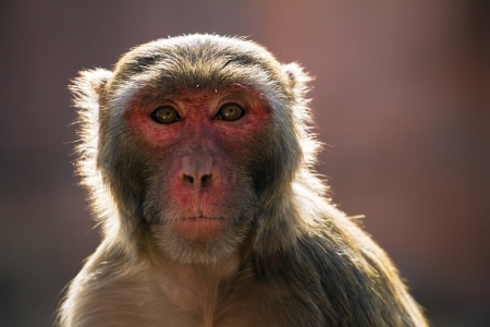 monkey face: The rhesus macaque monkey (Macaca mulatta)