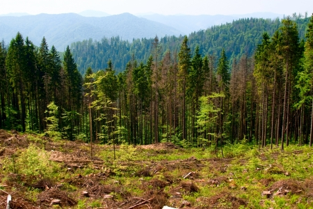 felled: Felled area in Carpathian mountains, Ukraine Stock Photo